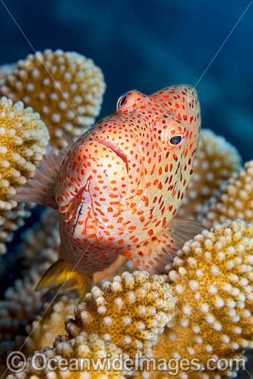 Ring-eyed Hawkfish (Paracirrhites arcatus), amongst Acropora Coral. Found throughout the Indo Pacific, including the Great Barrier Reef. Photographed in Hawaii. Photo - David Fleetham