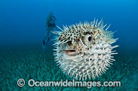 Spotted Porcupinefish inflated Photo - David Fleetham