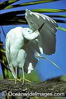 Eastern Reef Egret Egretta sacra photo