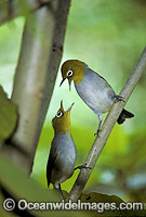 Capricorn Silvereye Photo - Gary Bell