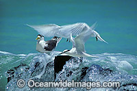 Black-naped Terns Sterna sumatrana Photo - Gary Bell