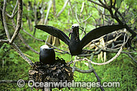 Nesting Black Noddy Anous tenuirostris Photo - Gary Bell