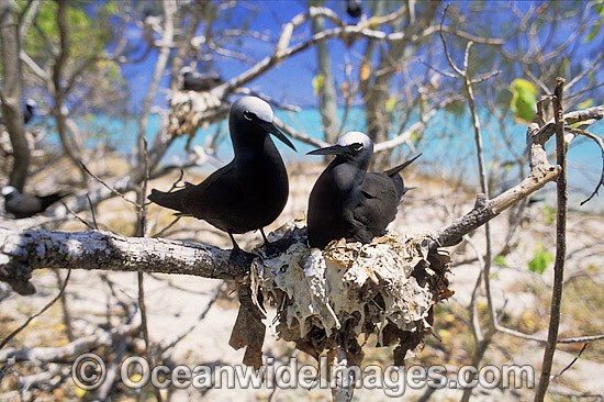 Nesting Black Noddy (Anous tenuirostris). Heron Island, Great Barrier Reef, Queensland, Australia Photo - Gary Bell