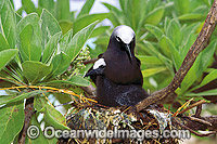 Black Noddy Anous tenuirostris with chick Photo - Gary Bell