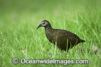 Lord Howe Island Woodhen Gallirallus sylestris Photo - Gary Bell
