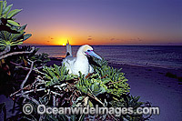 Nesting Red-footed Booby photo