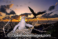 Great Frigatebird Fregata minor chick Photo - Gary Bell