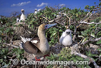 Red-footed Booby with chick Photo - Gary Bell