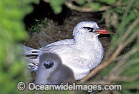 Red-tailed Tropicbird and chick image