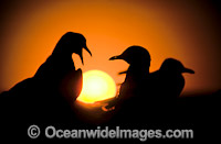 Silver Gulls Larus novaehollandiae at sunset image