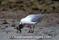Silver Gull feeding on chick image