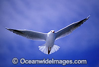 Silver Gull Larus novaehollandiae Photo - Gary Bell