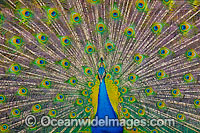 Peacock during courtship display