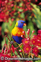 Rainbow Lorikeet feeding on flowers
