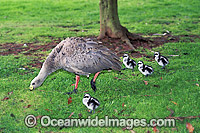 Cape Barren Goose chicks Photo - Gary Bell