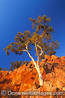 Ghost gum MacDonnell Ranges Photo - Gary Bell