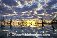 River red-gum trees Lake Menindee photo