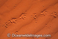 Lizard footprints on sand dune Photo - Gary Bell