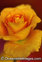 Yellow Rose Photo - Gary Bell