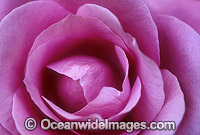 Pink Rose Photo - Gary Bell