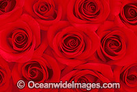 Red Roses Photo - Gary Bell