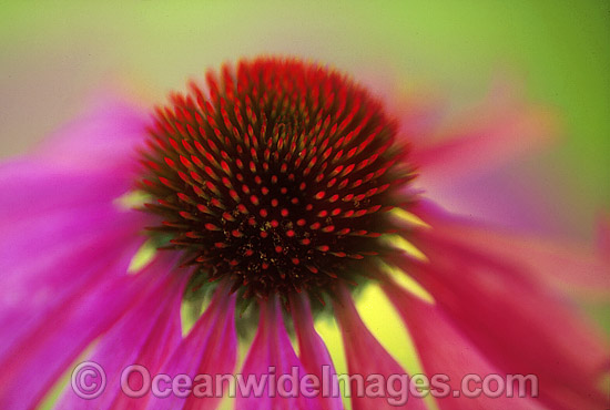 Echinacea flower or Purple Coneflower (Echinacea purpurea). New South Wales, Australia Photo - Gary Bell