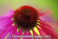 Echinacea flower Purple Coneflower