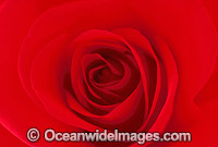 Red Rose Photo - Gary Bell