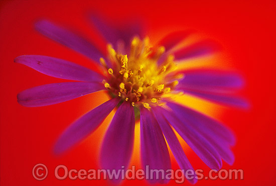 Easter Daisy. New South Wales, Australia Photo - Gary Bell