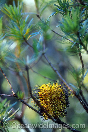 Flower of a Hill Banksia tree (Banksia collina). New England National Park, New South Wales, Australia Photo - Gary Bell