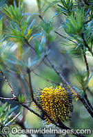 Hill Banksia flower Banksia collina stock photo
