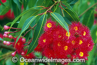 Eucalyptus gum tree flowers
