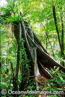 Strangler Fig Tree Lamington National Park Photo - Gary Bell