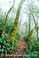 Antarctic Beech Tree rainforest image
