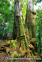 Brushbox Tree Lamington National Park Photo - Gary Bell