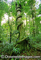 Rainforest buttress tree entangled vine image