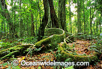 Rainforest buttress tree Lamington National Park Photo - Gary Bell