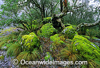 Temperate rainforest banksia tree forest image
