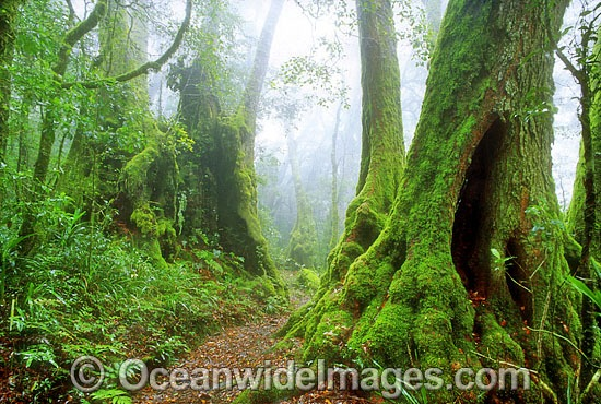 Border Track through sub-tropical Antarctic Beech Tree (Nothofagus moorei) forest. Lamington World Heritage National Park, Queensland, Australia Photo - Gary Bell