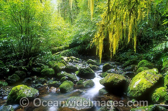 Hanging moss over rainforest stream. New England World Heritage National Park, New South Wales, Australia Photo - Gary Bell