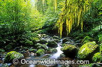 Hanging moss over rainforest stream image