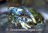 Lamington Spiny Lobster Euastacus sulcatus Photo - Gary Bell