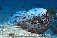 Sea Cucumber with Cuvierian tubules