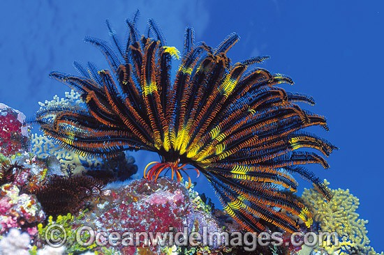 Feather Star (Possibly: Oxycomanthus bennetti). Also known as Crinoid. Great Barrier Reef, Queensland, Australia