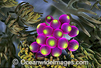Grape-like vesicles of Sea Anemone Photo - Gary Bell