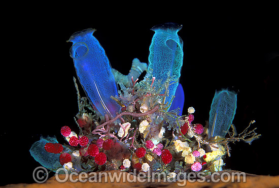 Cluster of colourful Sea Tunicates. Blue Tunicate (Rhopalaea sp.) 4cm, Strawberry Tunicate (Didemnum cf. moseleyi) 5mm. Also known as Ascidians and Sea Squirts. Bali, Indonesia