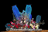 Sea Tunicates Blue and Strawberry photo