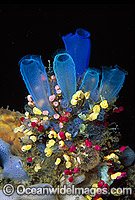 Sea Tunicates Blue and Strawberry Photo - Gary Bell