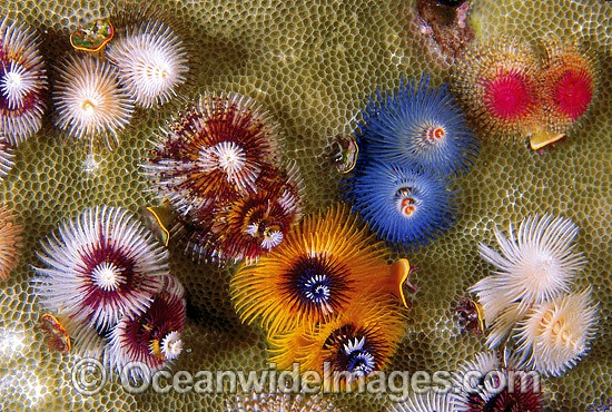Christmas Tree Worm photo