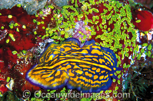 Polyclad Flatworm (Pseudoceros sp.). Great Barrier Reef, Queensland, Australia Photo - Gary Bell